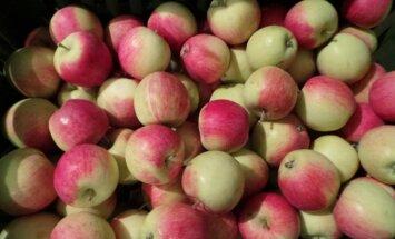 Vasarinės ir rudeninės obelų veislės, kurios atneš vertingą derlių