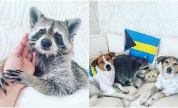 Meškėno ir šunų draugystė