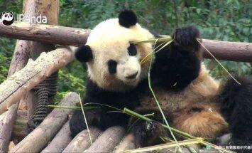 """""""Slaptas pandų gyvenimas"""" (XX): klastingi bambuko stiebeliai ir akrobatiniai triukai"""