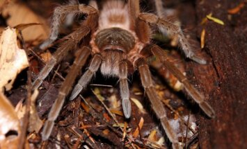 Vorai, kuriais Edgaras prekiauja - Kosta Rikos paukštėda (Brachypelma angustum)