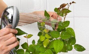 Kaip nuo kambarinių augalų nuvalyti per žiemą susikaupusias dulkes