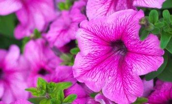 Balkonų karalienės petunijos – kaip jas auginti ir puoselėti
