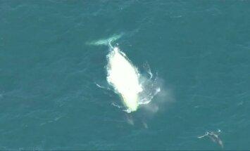 Porelė glotniųjų banginių išdykavo prie Australijos krantų