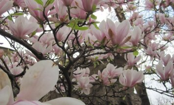 Štai kaip nuostabiai pavasarį pražysta sulanžo magnolija, tik ją žiemą būtina uždengti, norint sulaukti tokio žydėjimo.
