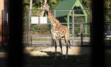 Zoologijos sode pristatyta naujoji žirafa