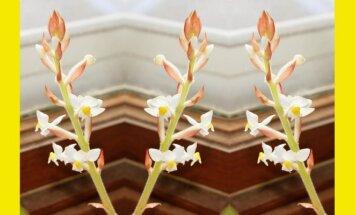 Lapinės orchidėjos: kodėl jas verta auginti?