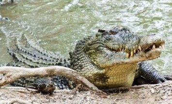 Briaunagalvis krokodilas
