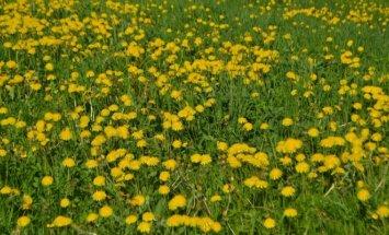 Kiaulpienės – kaip jas išvyti iš sodo ir kiemo