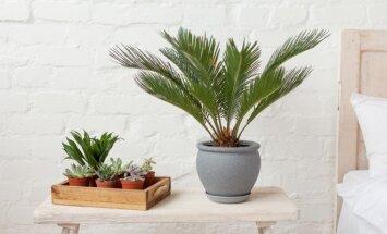 Augalai vampyrai: kurie kambariniai augalai siurbia energiją, o kurie ją spinduliuoja