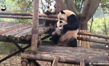 """""""Slaptas pandų gyvenimas (III): didžioji panda nenulaikė savo jauniklio"""
