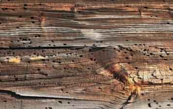 Maži, bet pavojingi medienos kenkėjai – kas jie?
