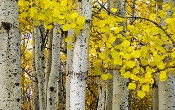 Naudinga mediena: drebulė