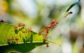 5 organiški kovos su skruzdėmis būdai