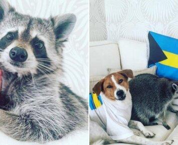 Su šunimis gyvenanti meškėnė nepaliauja stebinti savo mielumu
