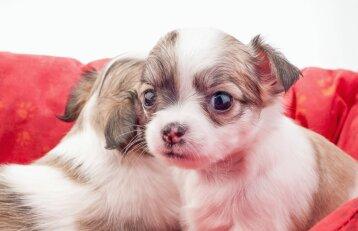 Kada geriausia šuniuką atskirti nuo mamos?