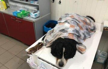 Panevėžyje miške rastas veislinis šuo į prieglaudą pristatytas jau antrą kartą