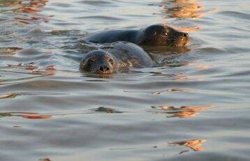 Britų žvejį teko gelbėti nuo agresyvių ruonių
