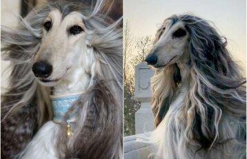 Pažiūrėkite, koks stileiva: šuns priežiūrai šeimininkas skiria tūkstančius eurų