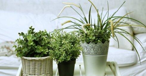 Naudingiausi kambariniai augalai nuo nemigos, galvos skausmo, virusų