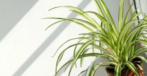Chlorofitas: šį kambarinį augalą į laiptines išnešame be reikalo
