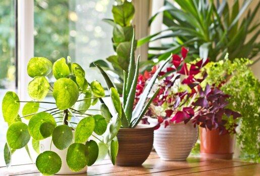 4 būdai, kaip dauginti kambarines gėles
