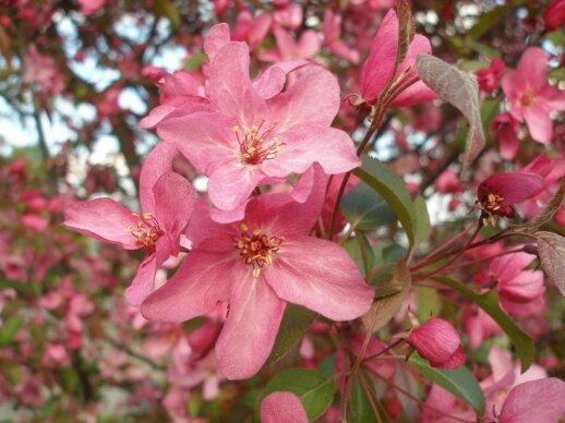 Dekoratyvinės obelys – kokias auginti Lietuvoje geriausia