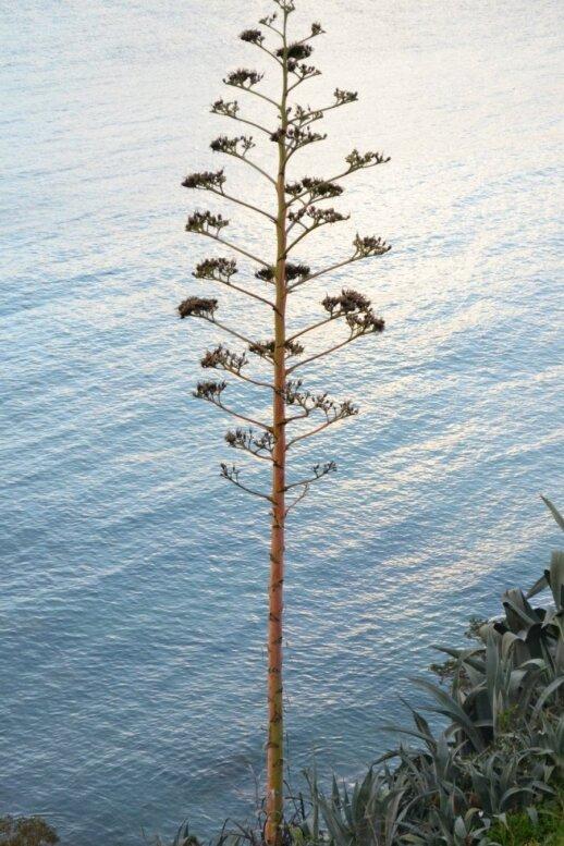 Agavos žiedynas įspūdingas ir iš toliau atrodo kaip tikras medis, tik jis neilgaamžis, nes nužydėjęs augalas nunyksta.