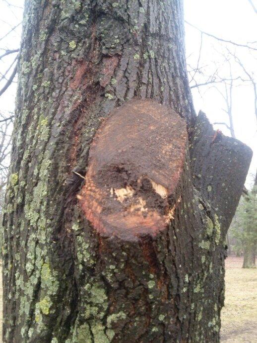 Nupjautos medžio šakos žaizdos nereikia niekuo užtepti, o čia dar vienas nevykęs bandymas tepti purvu, kuris tik pablogina situaciją.