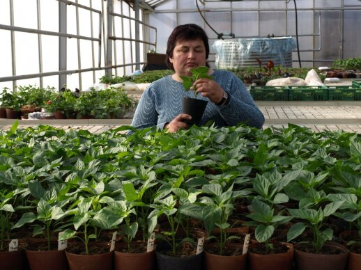 Nijolė Maročkienė rodo, kaip paprikų daigai auginami 12 cm skersmens polimeriniuose vazonėliuose.