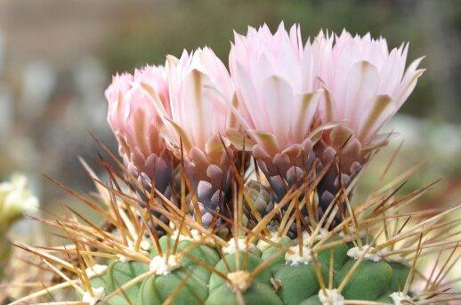 Kaip prižiūrėti kaktusą, kad jis imtų žydėti