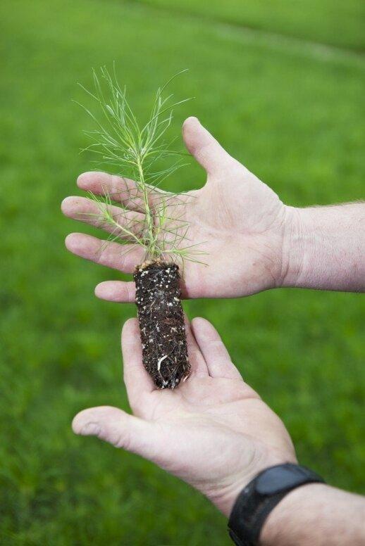 Spygliuočių sodinimo tvarka ir patarimai