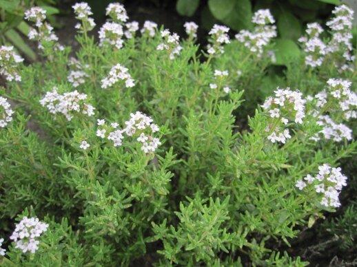 Vaistinis čiobrelis auginamas daržuose ir gėlynuose.