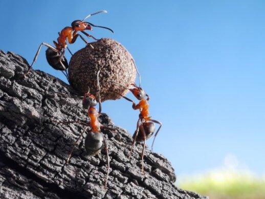 Ką daryti, kai sodo skruzdėlės tampa kenkėjais