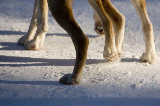 Šuns pėdos