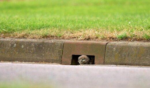 Pelėda kanalizacijos ertmėje