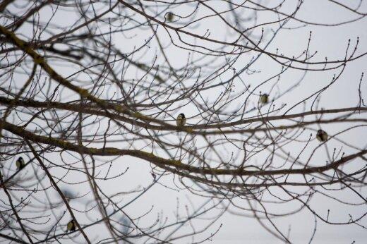 Zylutės ant medžio įsitaisę tarsi gelsvi žieminiai pumpurai