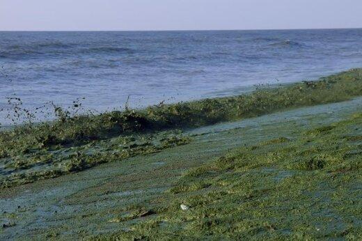 Žydinčios jūros pakrante net pasivaikščioti retam norėtųsi