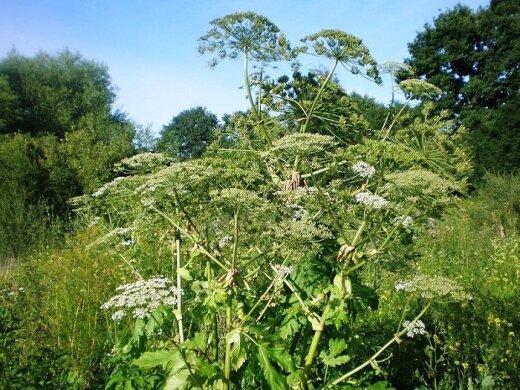 Lietuvą okupuoja vis daugiau invazinių gyvūnų ir augalų