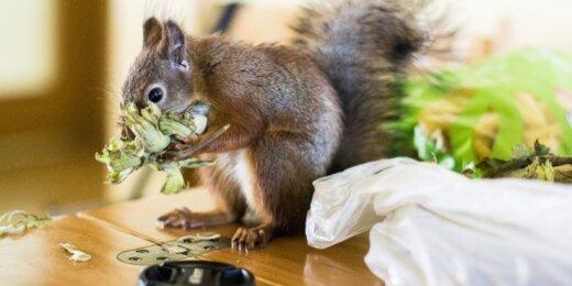 Voverė (asociatyvi nuotr.)