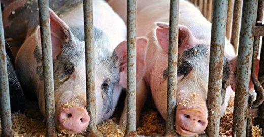 Kiaulių sąlygos ankštuose narvuose