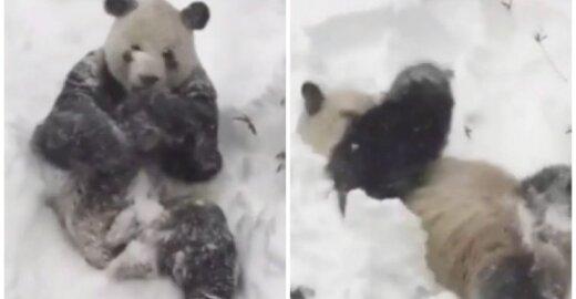 Panda džiaugiasi sniegu