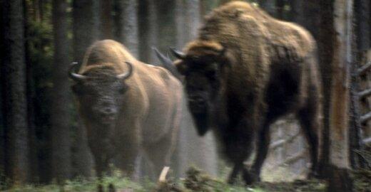 Tikriesiems Belovežo girios šeimininkams šalių sienos nė motais