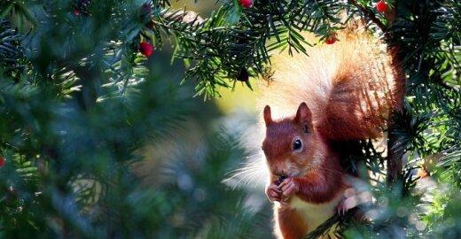 Į voverių karą įsitraukę žmonės ėmė žudyti miško gyventojas