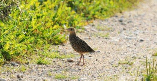 Išnykimo grėsmė Lietuvoje kilusi keletui paukščių ir augalų