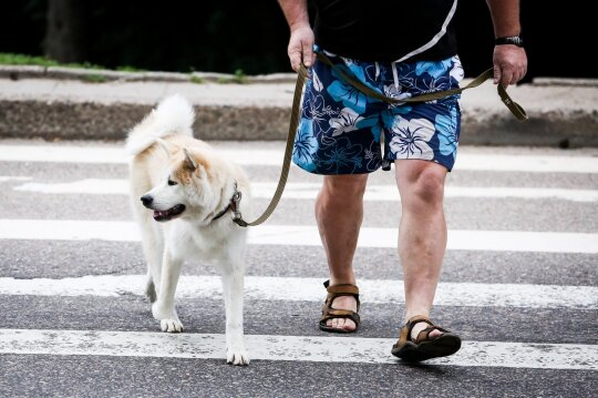 Vedžiojamas šuo