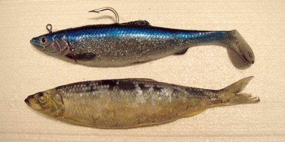 3D Herring Big fish shad