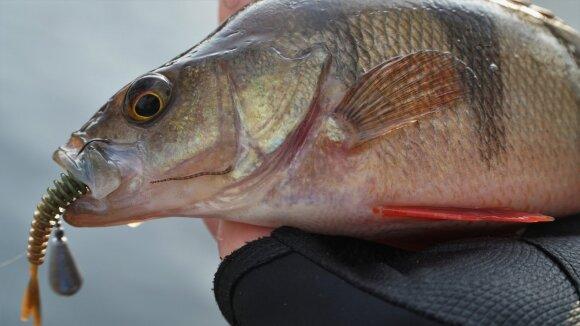 Dėlytės ant žuvies sako, jog žuvis yra neaktyvi