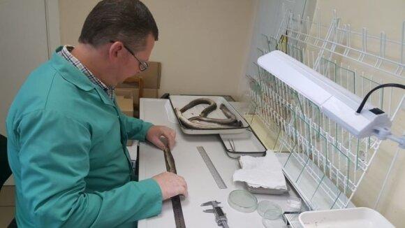 Žuvininkystės specialistai atlieka ungurių tyrimus