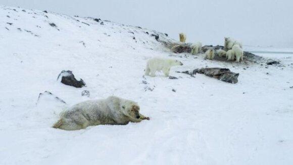 """Rusijos miestelį okupavo baltosios meškos – """"World Wildlife Fund"""" nuotr."""