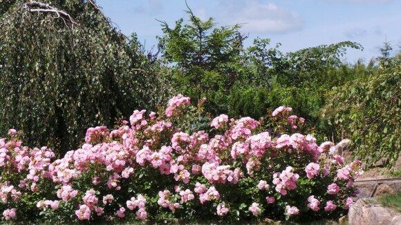 'Bonica' - parko rožė